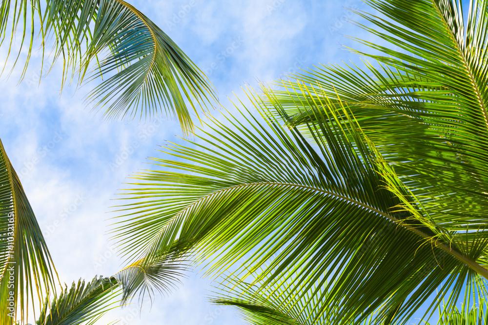 Fototapeta Coconut palm tree leaves