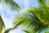 Fototapeta  - Coconut palm tree leaves