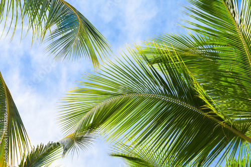 Obraz Coconut palm tree leaves - fototapety do salonu