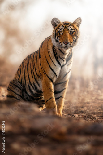 Tuinposter Tijger Young tiger female in a beautiful place full of color/wild animal in the nature habitat/India/big cats/endangered animals/close up with tigress