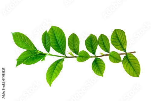 Fotomural  green leaf isolate