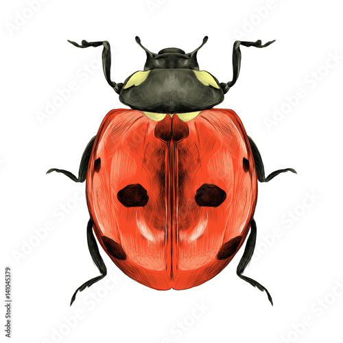 Photo ladybug top view of a symmetric graph sketch vector color drawing