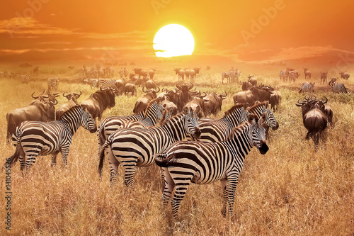 Photo  Zebra at sunset in the Serengeti National Park. Africa. Tanzania.