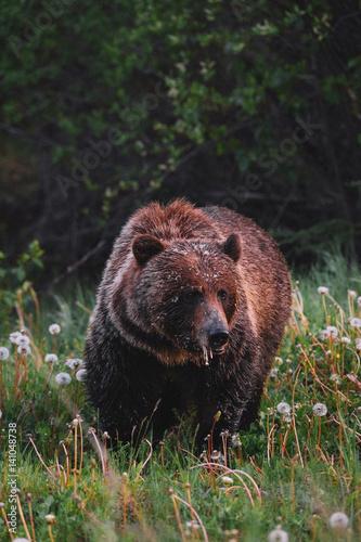 Obrazy na płótnie Canvas Portrait of brown bear