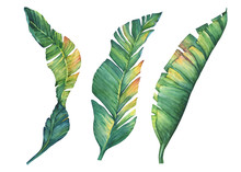 Set Of Exotic Tropical Banana Leaves. Hand Drawn Watercolor Painting On White Background.