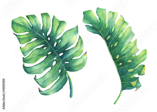 Foto  Satz des großen tropischen grünen Blattes von Monstera-Anlage