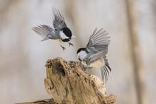 Black-capped Chickadee Fighting