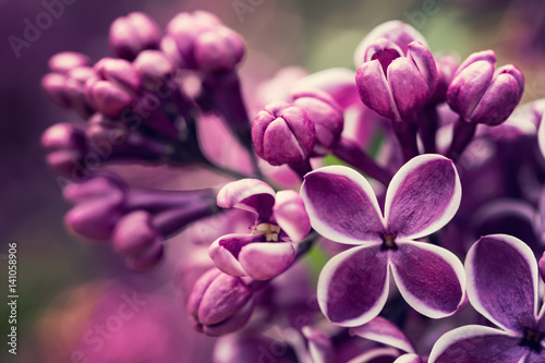 Purple lilac flowers blossom