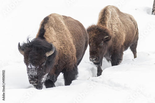 Photo  Bull and cow bison moving through the snow
