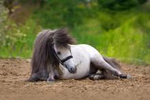 White Pony Stallion Laying And...