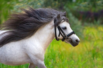White pony stallion with long mane portrait in motion