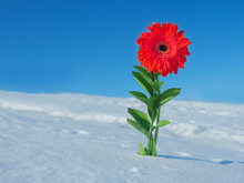 Beautiful Red Flower On A Snowy Background. Concept Of Spring
