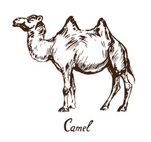 Camel Standing, With Inscription, Hand Drawn Doodle, Sketch In Pop Art Style, Vector Illustration