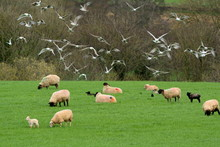 Flock Of Gulls Flying Above Herd Of Sheep On A Farm In Devon