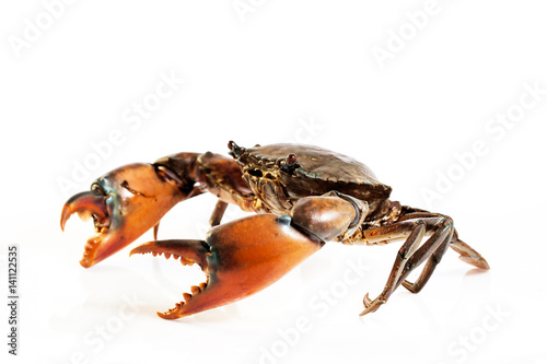 Fényképezés  Raw serrated mud crab on white