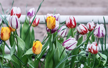 Striped Tulips, A Mixture Of V...