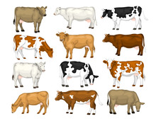 Dairy Cattles Set. Swiss Brown, Ayrshire, Holstein, Milking White And Brown Shorthorns, Guernsey And Jersey Cows Collection.