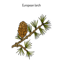 Larch Cone And Branch