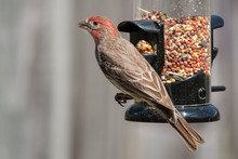 House Finch, Male, Eating At A Bird Feeder.