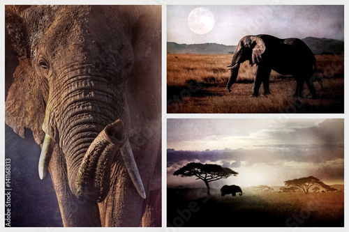 Wild elephant in the African savannah in the evening. African collage.