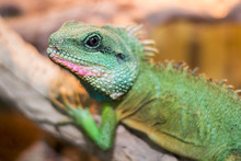 Chinese Water Dragon (Physignathus Cocincinus) Is A Species Of Agamid Lizard Native To China And Mainland Southeast Asia.