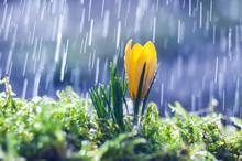 Yellow Crocus On Background Spring Rain
