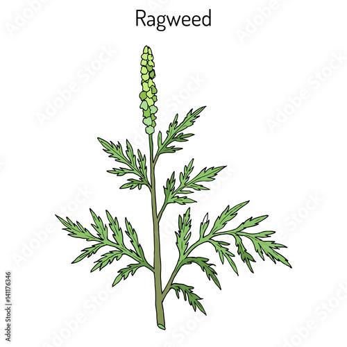 Common ragweed Ambrosia artemisiifolia Wallpaper Mural