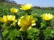 mehrere Blüten und Knospen an einem Frühlings-Adonisröschen in den Seelower Höhen bei Mallnow in Brandenburg, Deuschland