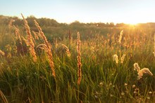 Tall Grass Sweeps In Field, Warm Sunlight, Natural Background