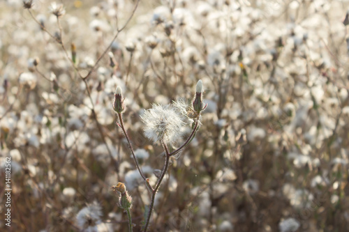 Obraz na plátně Fluffy sow thistle, hare thistle, seedheads, natural background