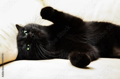 Foto op Canvas Panter Portrait of a common, european black cat with green eyes and open pawy on sofa background. Horror atmospheres and halloween concept. Look panther and witch eyes. Bad luck and superstition.