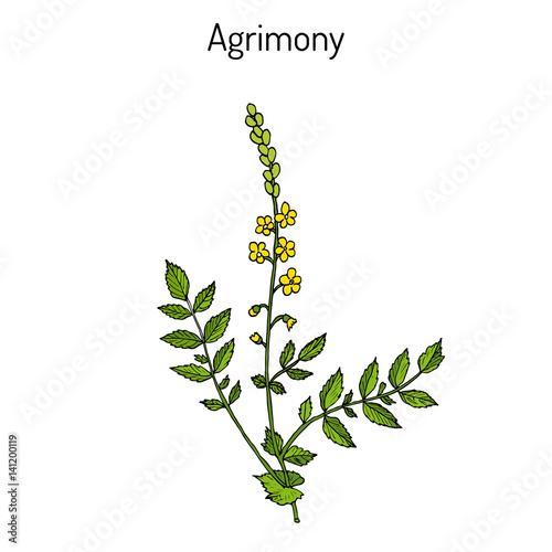 Medicinal plant - common agrimony agrimonia eupatoria Canvas Print