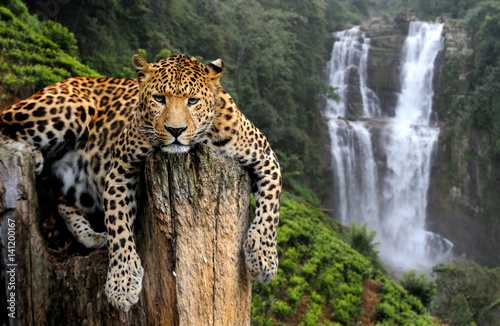 Leopard on waterfall background