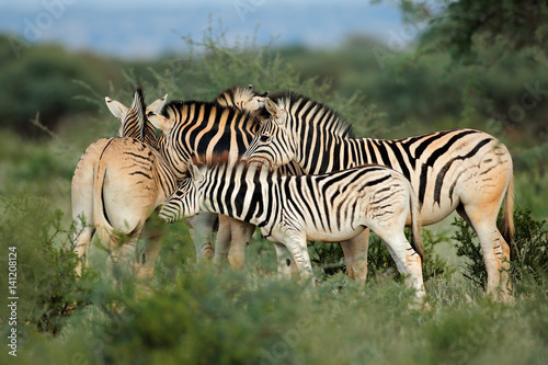 Keuken foto achterwand Zebra Plains (Burchells) zebras (Equus burchelli) in natural habitat, South Africa.