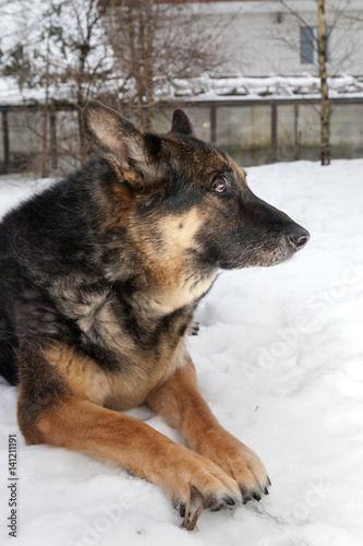 Foto  Der alte Mischlingshund, der im Schnee liegt