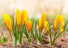 Beautiful Spring Flowers Yellow Crocuses. Selective Focus, Macro Photo