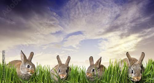 Zdjęcie XXL małe brązowe króliki jedzą trawę