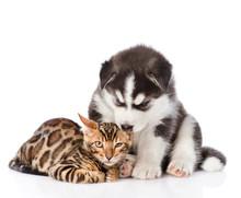 Siberian Husky Puppy Chewing O...
