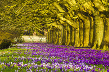 Crocuses Blooming In The Alley Of Plane Trees In The Park
