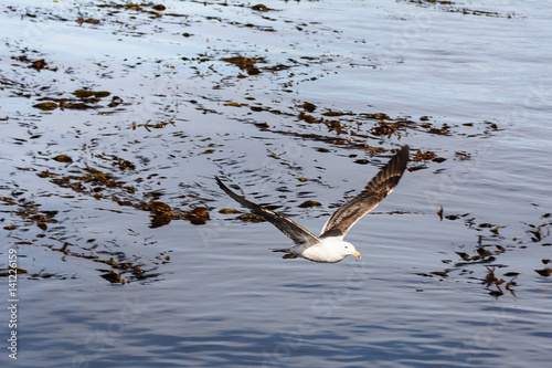 Fotografie, Obraz  Albatros flying on beagle channle