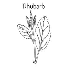 Rhubarb Rheum Rhabarbarum , Cu...
