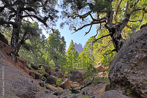 Deurstickers Canarische Eilanden La Palma, Canary Islands insight into the tops of the pine trees in the national park