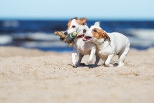Jack Russell Terrier Dogs Playing With A Toy On The Beach