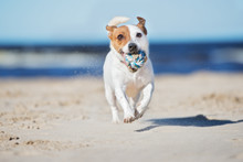 Adorable Jack Russell Terrier Dog Playing With A Ball