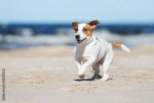 Carta da parati jack russell terrier dog on a beach