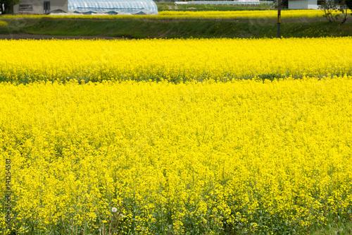 Fotobehang Zwavel geel 菜の花畑