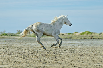 White Camargue Horse run in nature reserve in Parc Regional de Camargue - Provence, France