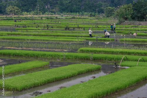 Fotografie, Obraz  Farmer on the ricefield