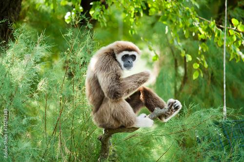 Carta da parati White hands gibbon relaxing
