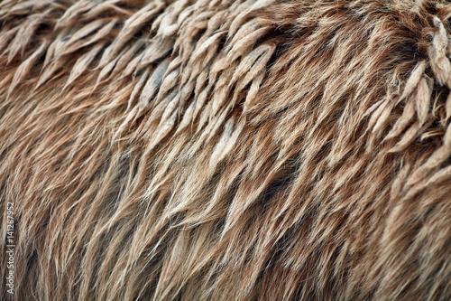 Brown bear (Ursus arctos) fur texture. Wild life animal